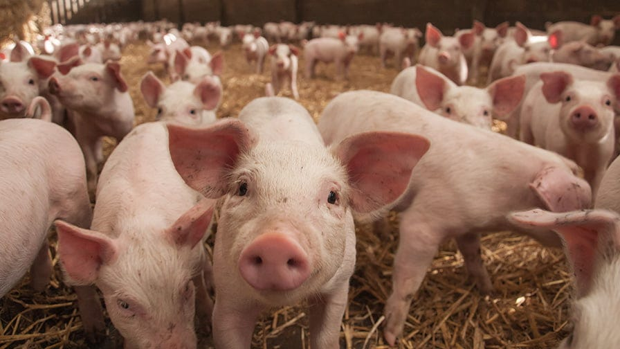 There are 1200 pigs on the farm